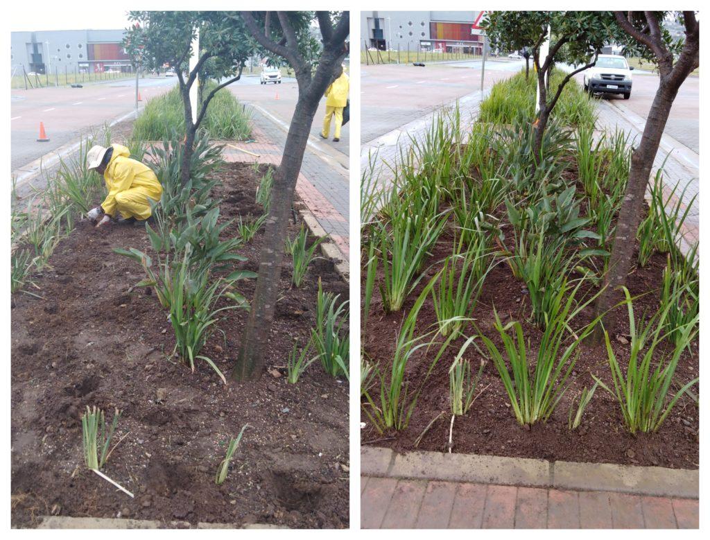 Transplanting Flowers In Bridge City Boulevard